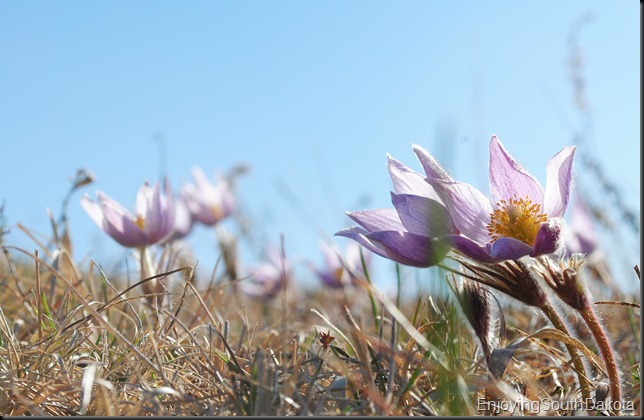photo of pasqueflower, pairie crocus, anemone patens, pulsatilla hirstissima